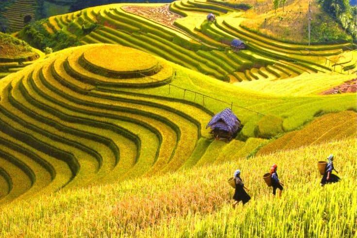 Sapa terraced rice fields