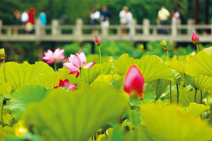 Take photos with lotus pond around West Lake