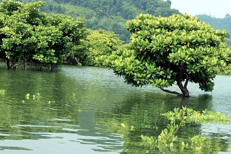 Con Dao mangrove