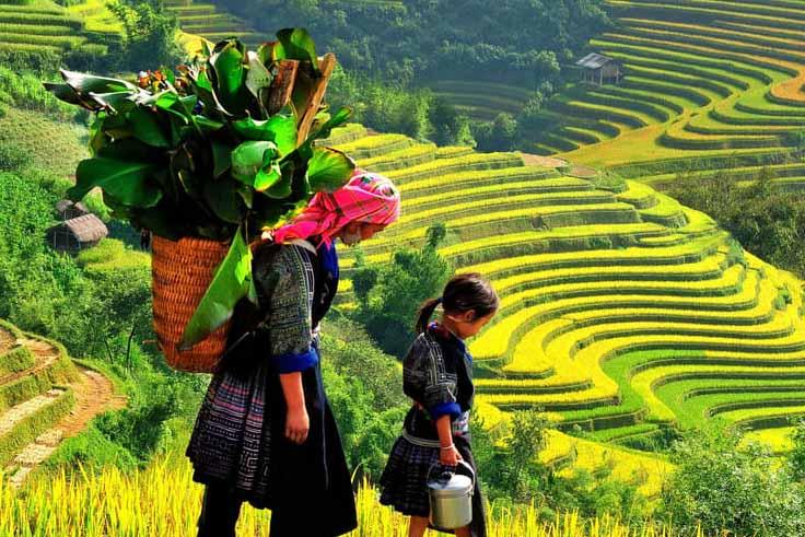 Golden rice terrace fields in Sapa for Vietnam honeymoon