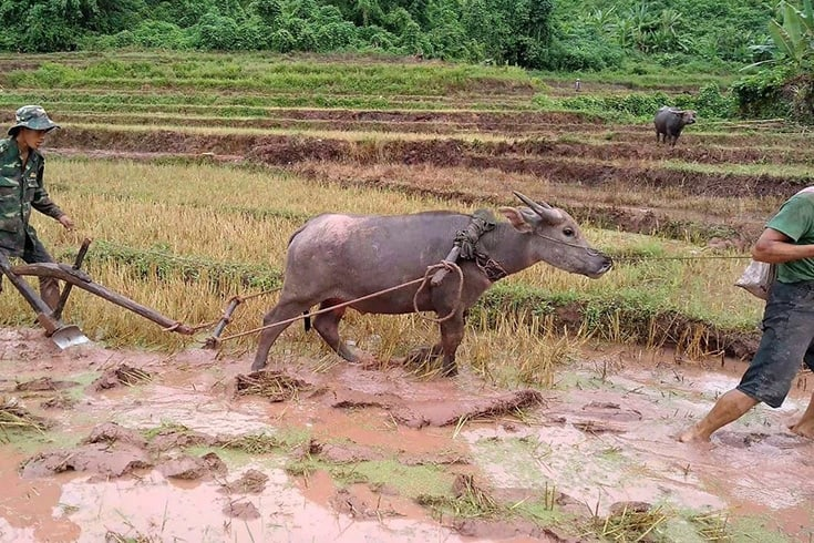 Water Buffalo is the National Animal of Vietnam