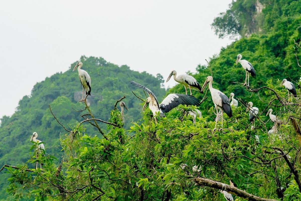 Bird-watch in Van Long Nature Reserve or Thung Nham Bird Garden