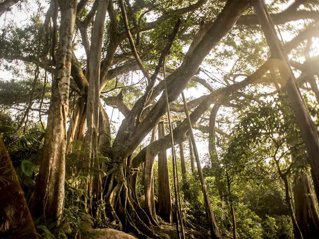 giant-banyan-tree