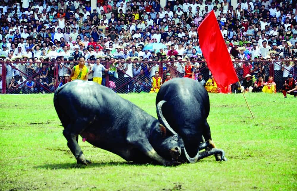 Do Son Buffalo Festival Fight