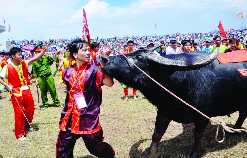 Do Son Buffalo Festival Preparation